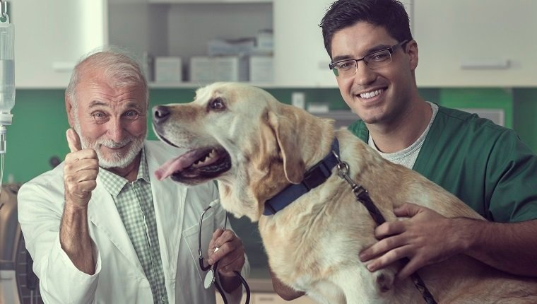 Young and senior veterinarian examining a Labrador dog together.