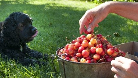 Can Dogs Eat Cherries? Are Cherries Safe For Dogs?