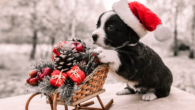 funny welsh corgi pembroke puppy with New Year sled with gifts on Christmas
