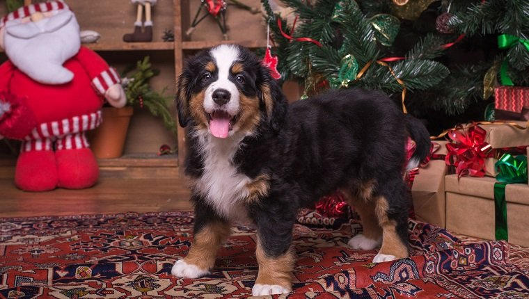 Cute puppy of mountain dog sitting near christmas tree