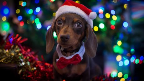 30 of the cutest christmas puppies on earth pictures
