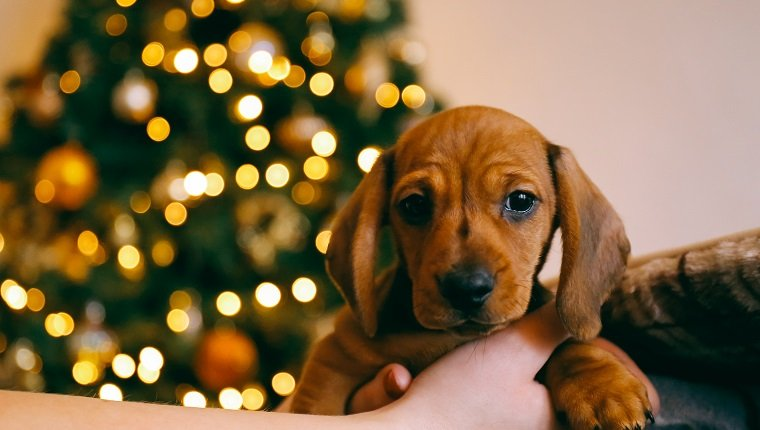 8 weeks old smooth hair brown dachshund puppy in the hands of its female owner, blurred lights of the Christmas tree on the background.