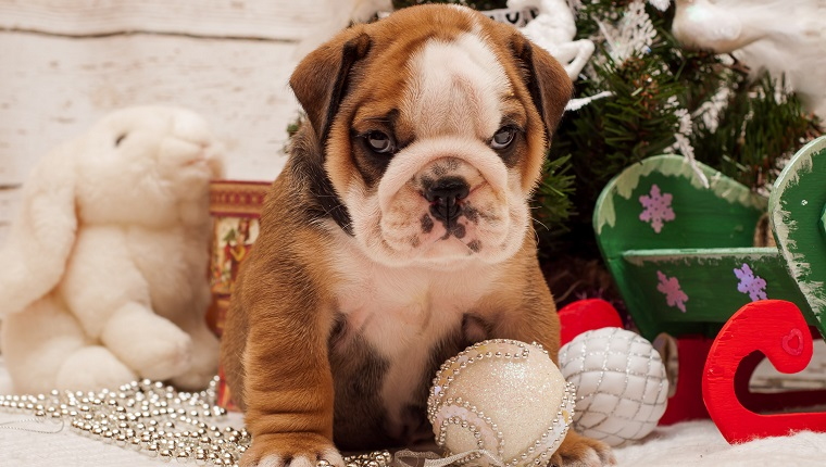 Puppy English Bulldog on a background of a New Year decoration