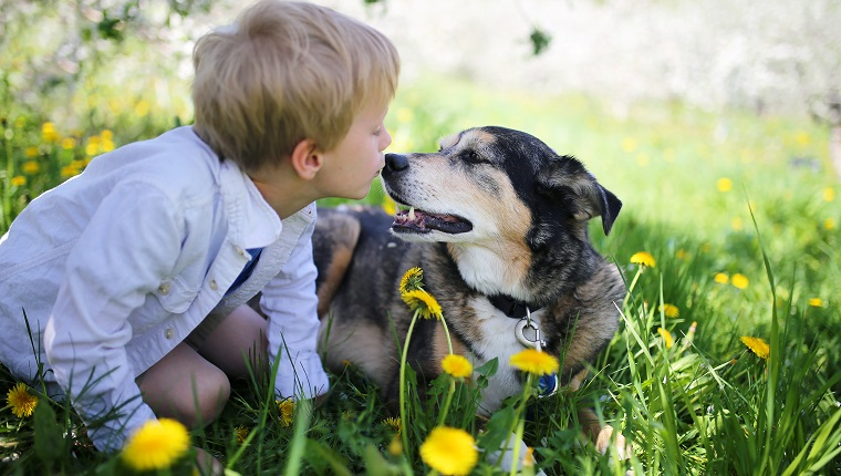 A sweet little boy is giving his rescued pet German Shepherd Dog a kiss on the nose as the relax outside in the flower meadow under the apple trees on a spring day.