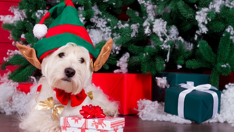 Decorated west highland white terrier dog as symbol of 2018 New Year with red bow tie, decorative bows and green elf hat with big ears and christmas pine tree with gifts on background