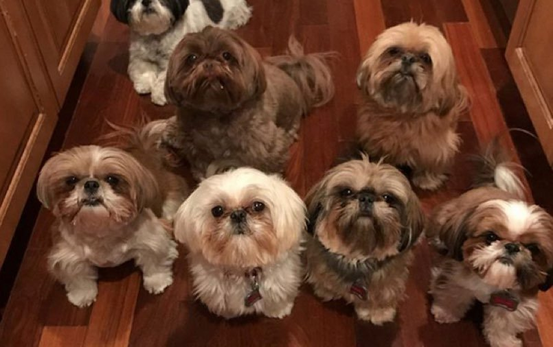 chinese shih tzu names 30 great names for shih tzu dogs pictures dogtime 4523