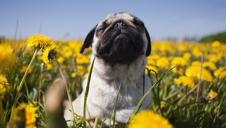 Pug in dandelion meadow, closeup