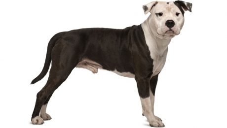 American Staffordshire Terrier Breed Information & Pictures – Dogtime