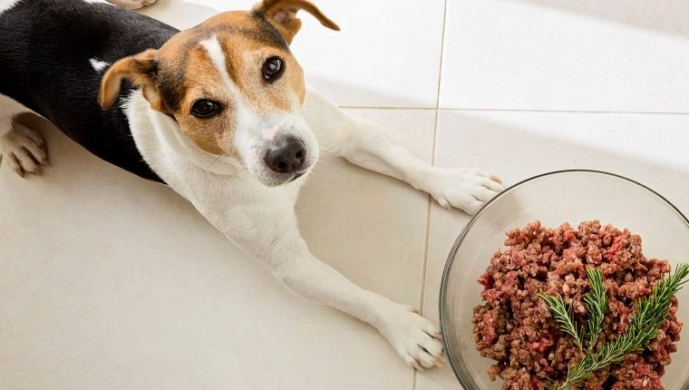 The dog jack russell terrier lies with a huge bowl of raw minced meat, food for dog concept