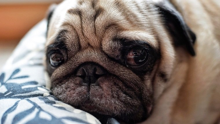 Close-Up Portrait Of Pug Puppy Resting On Bed