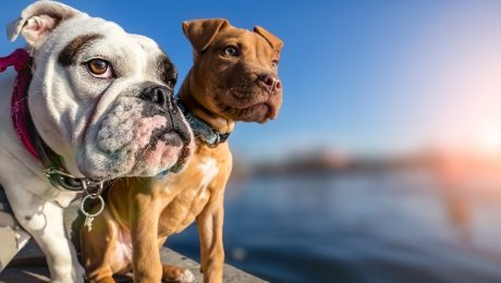 What Are Bully Dog Breeds?