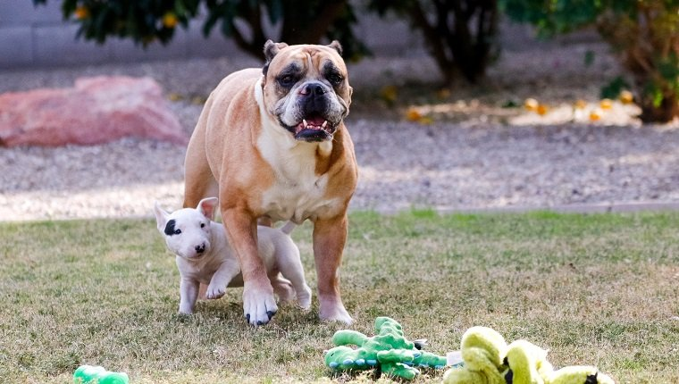 Bull terrier puppy playing and going underneath a bulldog