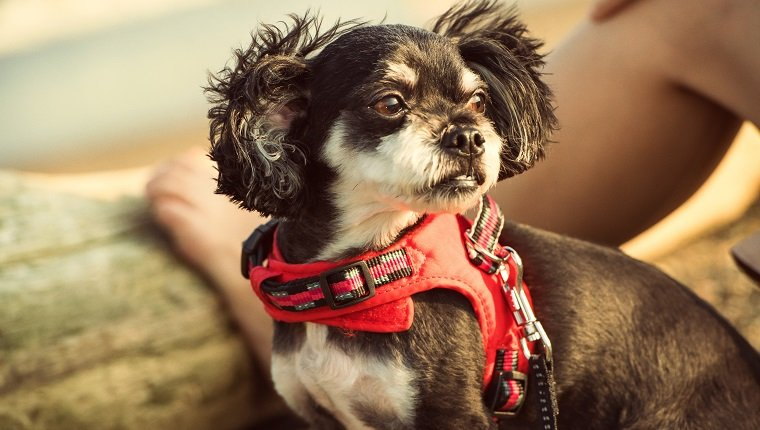 A mix of Martin and Chihuahua. The owner is an excellent 29-year-old nurse. That dog is very loved. I will go on a small journey together on holidays.