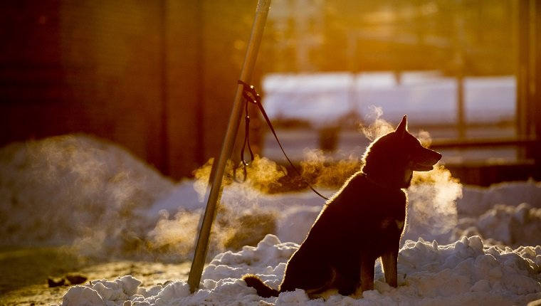 Dog (canis lupus familiaris) tied to pole