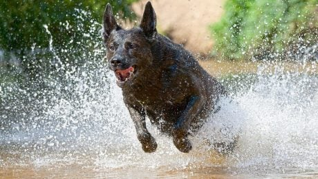 Dutch Shepherd Dog Breed Information & Pictures – Dogtime