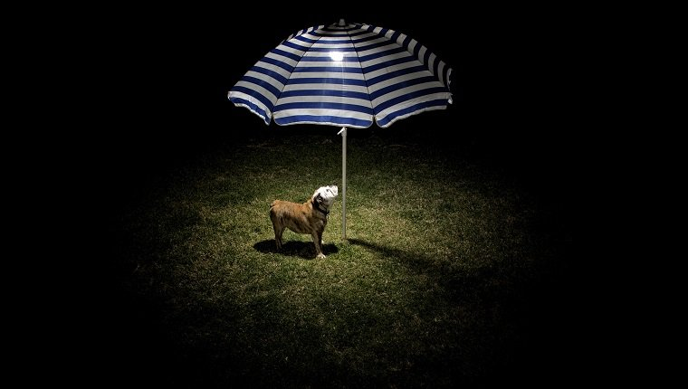 An English Bulldog puppy under the light below a beach umbrella.