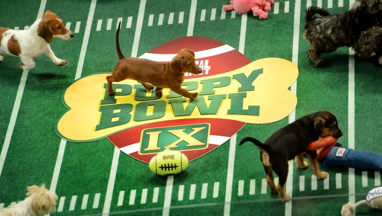 """**Embargoed til 2/5/2013** NEW YORK CITY, NY - NOVEMBER 11: Adoptable puppies play during the taping of Animal Planet's """"Puppy Bowl IX"""" program in New York City, NY on November 11, 2012. The mock football game will air as counter programming to the actual superbowl. On the internet, puppy bowl has been a huge sensation and now in it's 9th year. The puppies used in the show are from shelters and rescue organizations from across the country. The kittens in the half time show came from a shelter located in New York City. (Photo by Linda Davidson / The Washington Post via Getty Images)"""