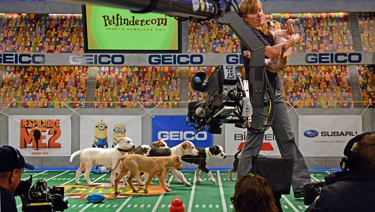 """**Embargoed til 2/5/2013** NEW YORK CITY, NY - NOVEMBER 11: Sandi Buck removes an overactive puppy from the set during the taping of Animal Planet's """"Puppy Bowl IX"""" program in New York City, NY on November 11, 2012. Buck is from the American Humane Association and makes sure all animals are safe during the two-day production. The mock football game will air as counter programming to the actual superbowl. On the internet, puppy bowl has been a huge sensation and now in it's 9th year. The puppies used in the show are from shelters and rescue organizations from across the country. The kittens in the half time show came from a shelter located in New York City. (Photo by Linda Davidson / The Washington Post via Getty Images)"""