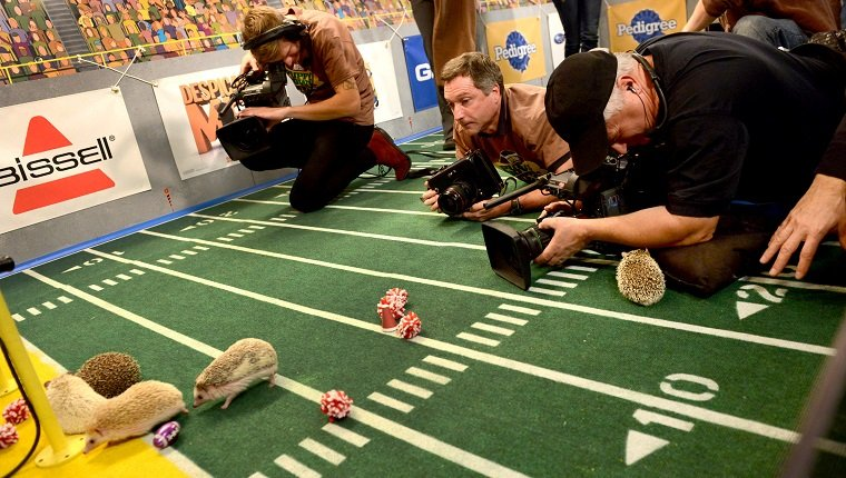 "**Embargoed til 2/5/2013** NEW YORK CITY, NY - NOVEMBER 11: Video and still photographers get eye level view of the hedgehog ""cheerleaders"" at the taping of Animal Planet's ""Puppy Bowl IX"" program in New York City, NY on November 11, 2012. At one time they tried putting cheerleading skirts of the hedgehogs but they didn't stay on given the animals have no waistline. The mock football game will air as counter programming to the actual superbowl. On the internet, puppy bowl has been a huge sensation and now in it's 9th year. (Photo by Linda Davidson / The Washington Post via Getty Images)"