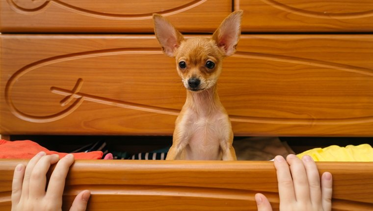 Toy Terrier who hid in the chest.