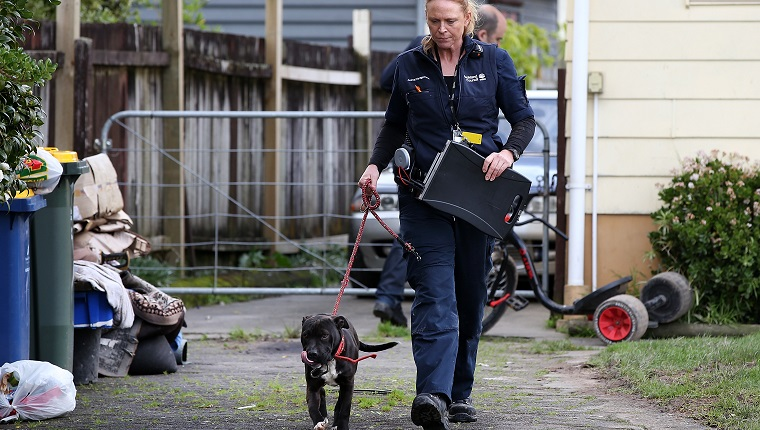 AUCKLAND, NEW ZEALAND - JULY 27: Animal Management Officer Kirsten impounds an unregistered dog in Ranui which was released after the owner paid the registration fee on July 27, 2016 in Auckland, New Zealand. The Auckland Council Animal Control undertook a menacing dog amnesty from April to June this year, resulting in a high number of dogs being presented for registration, desexing and microchipping. The Animal Control now plans to target menacing and unregistered dogs in the region until atleast October. (Photo by Fiona Goodall/Getty Images)