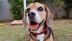 30 Beautiful Beagle Names! [PICTURES]