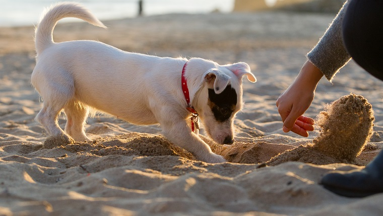 Jack russell digging in sand