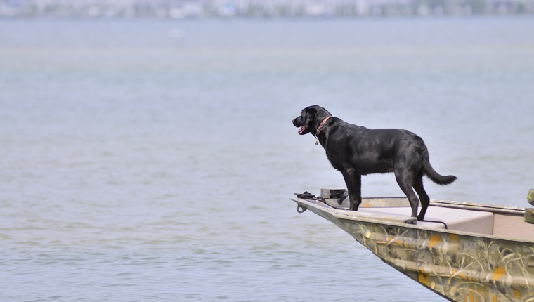 This Black Labrador Retriever is just in pure dog heaven on the bow of the Jon Boat anticipating jumping in the water to retrieve a duck. Ducks aren't in season now but she doesn't know that.