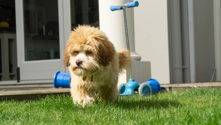 Lowchen puppy soft friendly and playful in back yard.