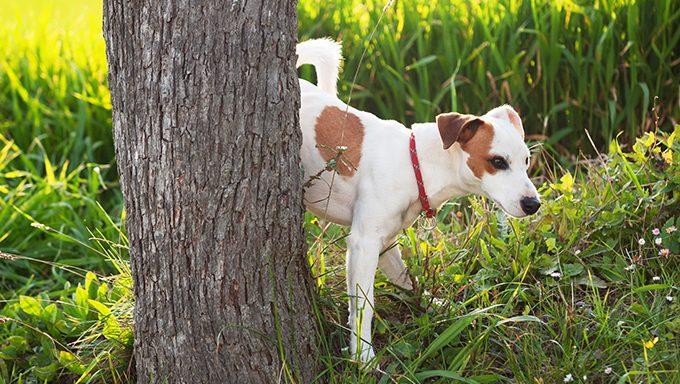 dog peeing on tree