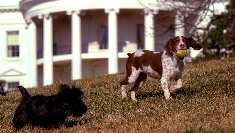 WASHINGTON, DC - JANUARY 23: In this picture released 31 January 2001 by the US White House, Barney(L), a Scottish terrier, and Spot(R), a English Springer Spaniel, play on the south lawn of the White House 23 January 2001. Barney was a gift from Christine Todd Whitman, former New Jersey Governor and current head of the Environmental Protection Agency(EPA), to US President George W. Bush and his family. Spot is the offspring of Millie, who was former US President George Bush's family dog.