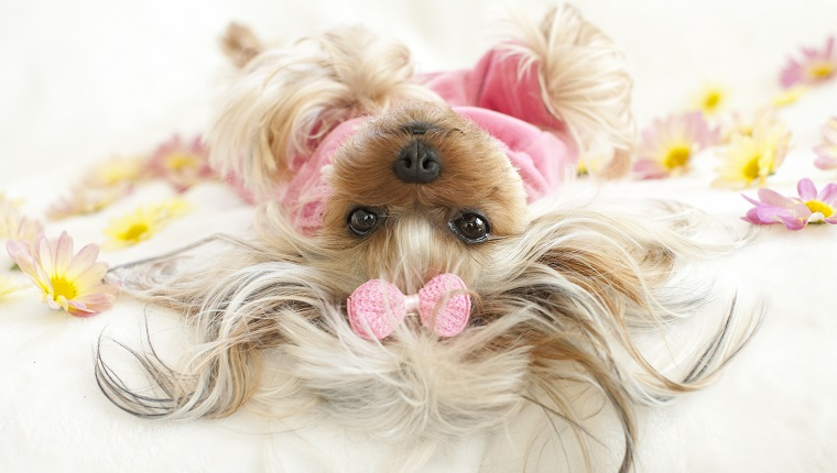 Yorkie lying down on her back, hanging her head, looking at camera surrounded by daisy flowers and wearing pajamas