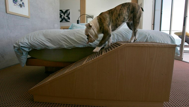 MALIBU, CALIFORNIA. June 4, 2008. Bean, the family pet dog of Chuck and Katie Arnoldi of Malibu inside the master bedroom where a dog ramp was built by Trucker Strasser, a woodworker and friend, for dogs with short legs, old, or sick dogs who can't jump on top of the bed by themselves. (Photo by Ken Hively/Los Angeles Times via Getty Images)
