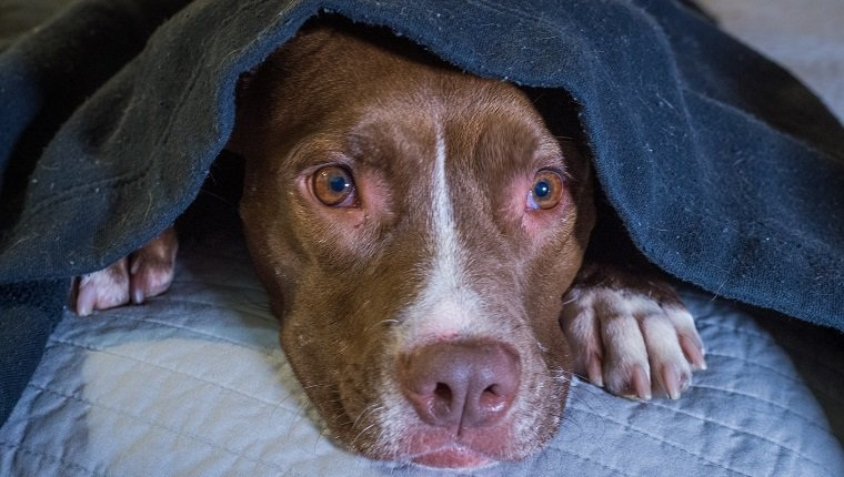 Scared dog laying on a bed with head under a blanket