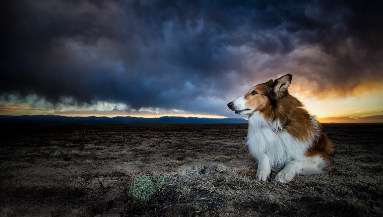 A Collie sits on a desert in Southern Colorado as a storm rolls in.