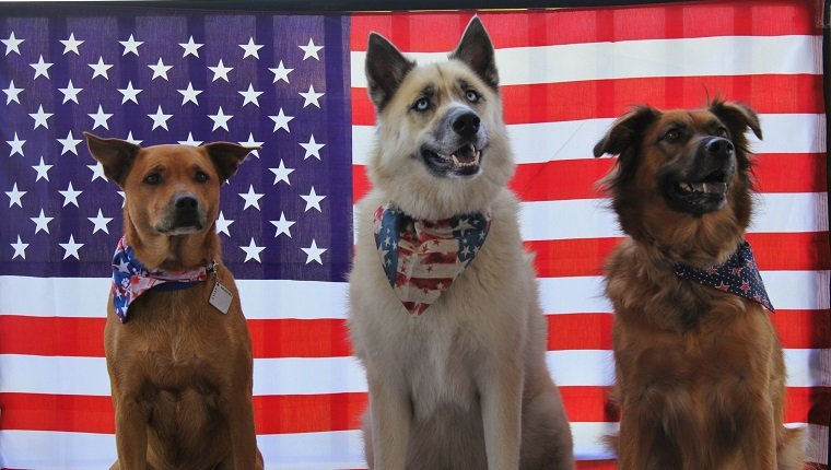 Dogs Against American Flag