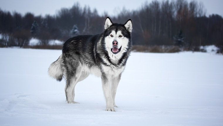 Alaskan Malamute in the forest
