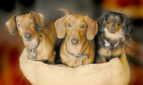 Over 30 Dazzling Dachshund With Amazing Names