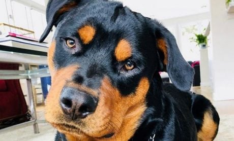 The Best Names For Rottweilers: Regal Rottweiler Names [PICTURES]