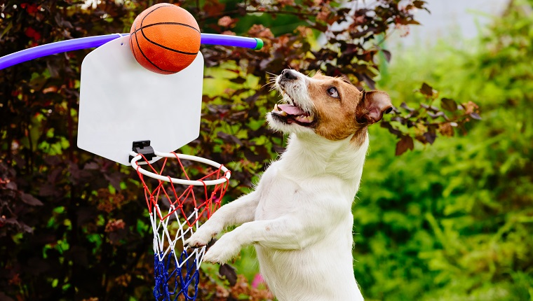 Jack Russell Terrier dog playing basketball