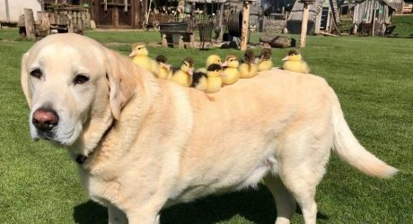Fred The Labrador Has His Ducks In A Row