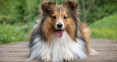 31 Shetland Sheepdog Names [PICTURES]
