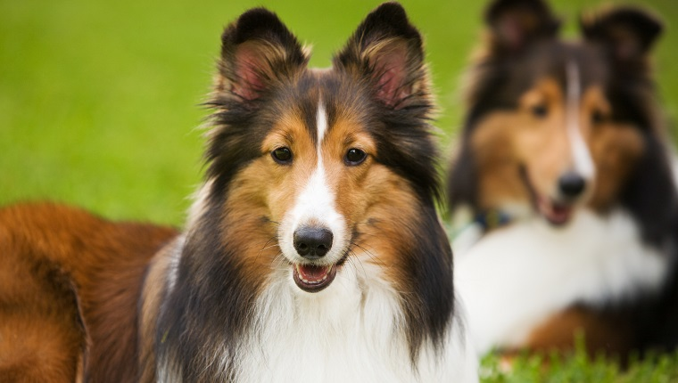 Shelties in the Grass