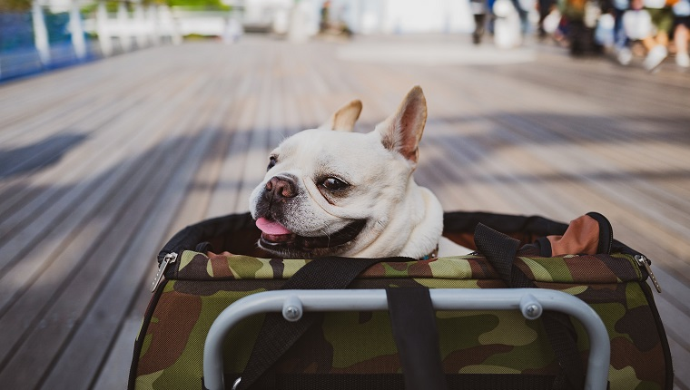 """My french bulldog is so much into buggy,,,,,, Even when he is lazy enough to go for a walk, he out of blue sits up the moment I move his buggy even 3cm. He love staying in it. I sometimes have to wonder why I am pushing his buggy when he just sits in it. It is not """"Walk"""" at all. I am the only one who is walking !?!?!? Do I have to walk in this case ?"""