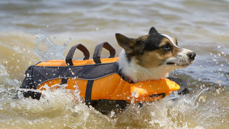 A hot corgi goes for a swim wearing a life vest