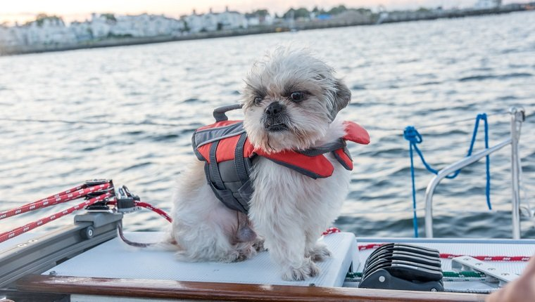 Shih-tzu puppy in a life jacket aboard of a yacht