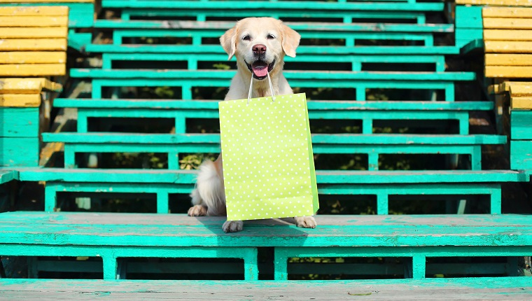 Beautiful Golden Retriever dog holding green shopping bag in teeth
