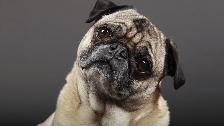 Portrait of Fawn Pug tilting his head and staring.