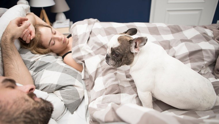 High angle view of couple relaxing on bed with French bulldog at home