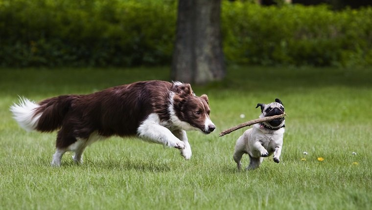 Border Collie and pug playing in garden
